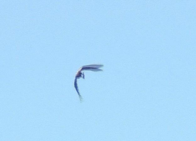 Bald Eagle returns with fish - Cootes Paradise - Hamilton