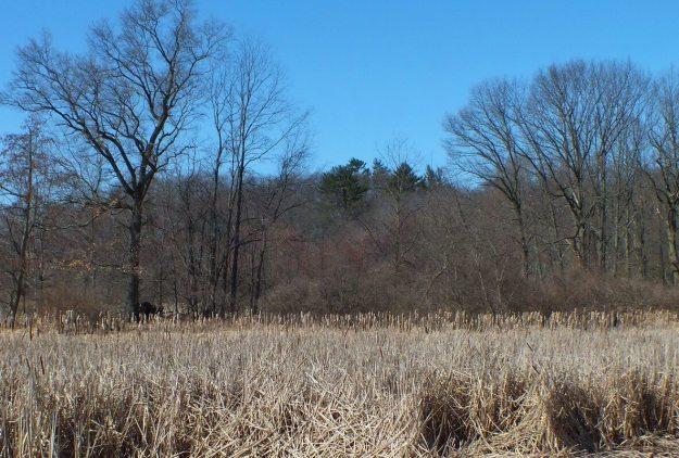 Cootes Paradise Marsh - Pine Tree with Eagles Nest - Hamilton - Ontario