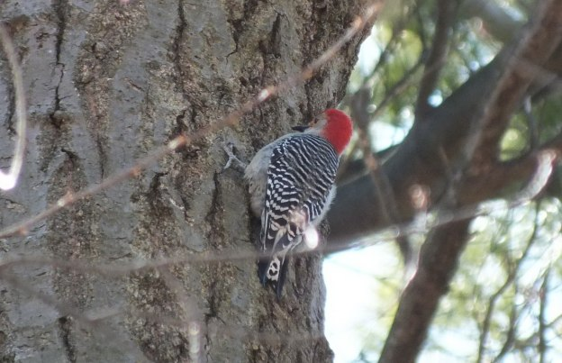 Red Breasted Woodpecker - Cootes Paradise Marsh - Hamilton - Ontario