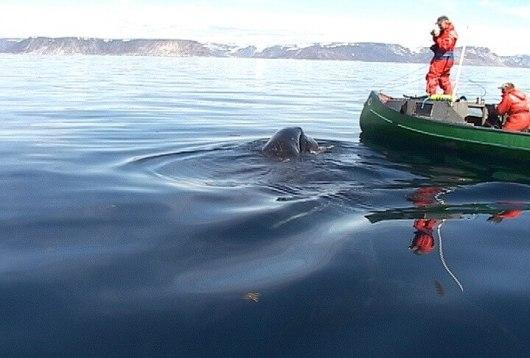 photograph of a baby bowhead whale swimming beside an Inuit canoe off Kekerten Island, Nunavut, Canada
