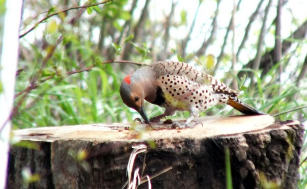 northern flicker - looks into hole in stump - oxtongue lake - ontario