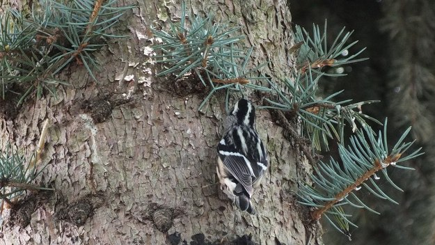 Black-and-white Warbler - feather pattern on back - Frame To Frame Bob & Jean