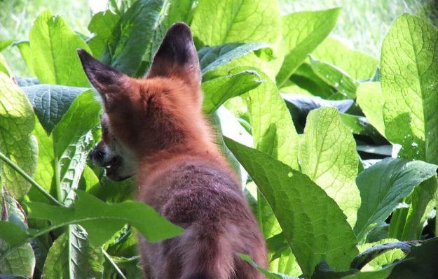 Red Fox hides amongst green leaves - Montreal Botanical Garden - Frame To Frame Bob & Jean