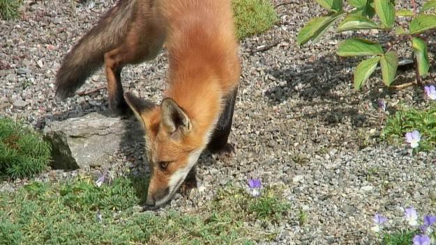 Red Fox smells plants - Montreal Botanical Garden - Frame To Frame Bob & Jean