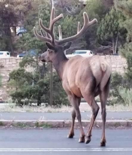 elk crosses roadway, grand canyon 2