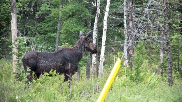 moose - female - in algonquin provincial park - ontario 3