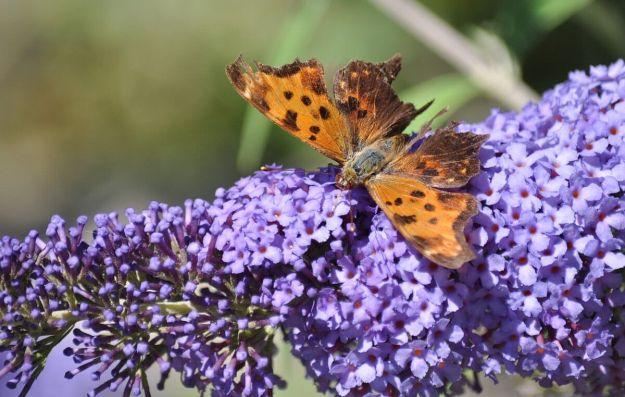eastern comma butterfly, rosetta mcclain park, toronto, pic 12