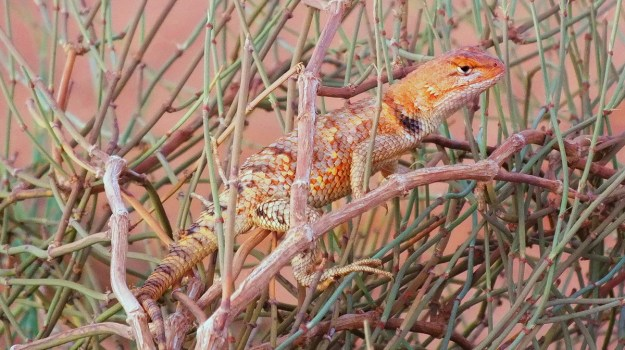 Desert spiny lizard in Monument Valley in Arizona, USA
