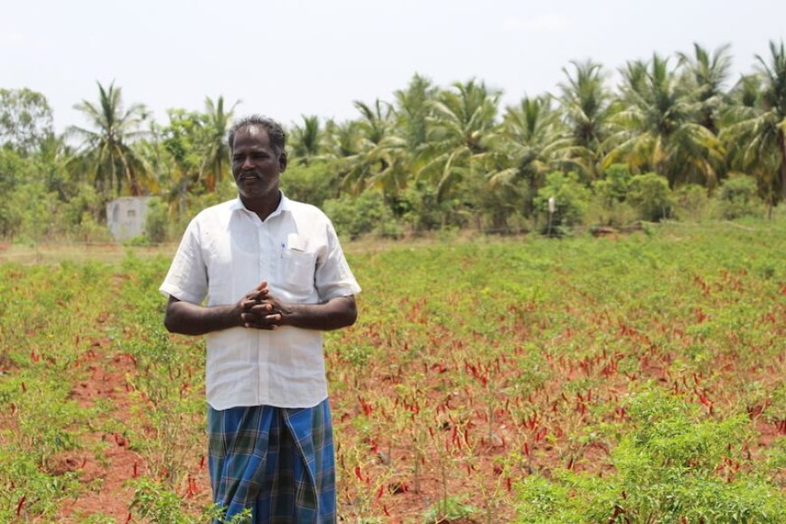 Kallimuthu in the chili field.