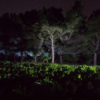 Groupe de pins maritimes en bordure d'un champ de nuit