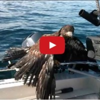 VIDEO:  Fisherman rescues drowning bald eagle