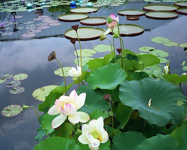Lotus Pond, photo by Fred Hatt, 2006