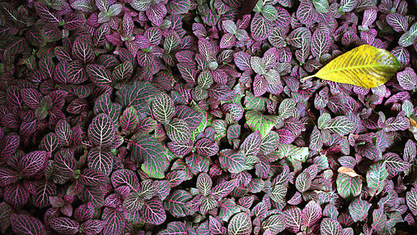 Veined leaves, photo by Fred Hatt, 2006