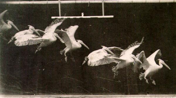 Flight of the Pelican, 1883, photo by Etienne-Jules Marey