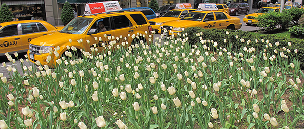 Tulips and Taxis, 2010, photo by Fred Hatt