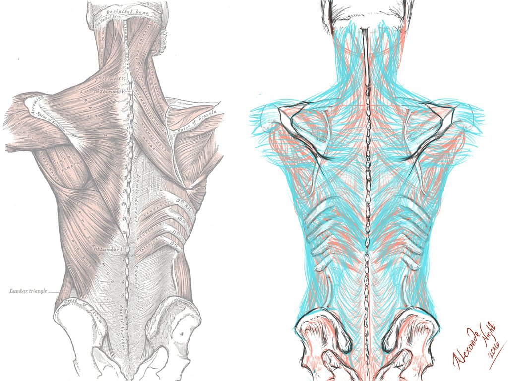 Myofascial Anatomy Weekend Intensive | Freely Human