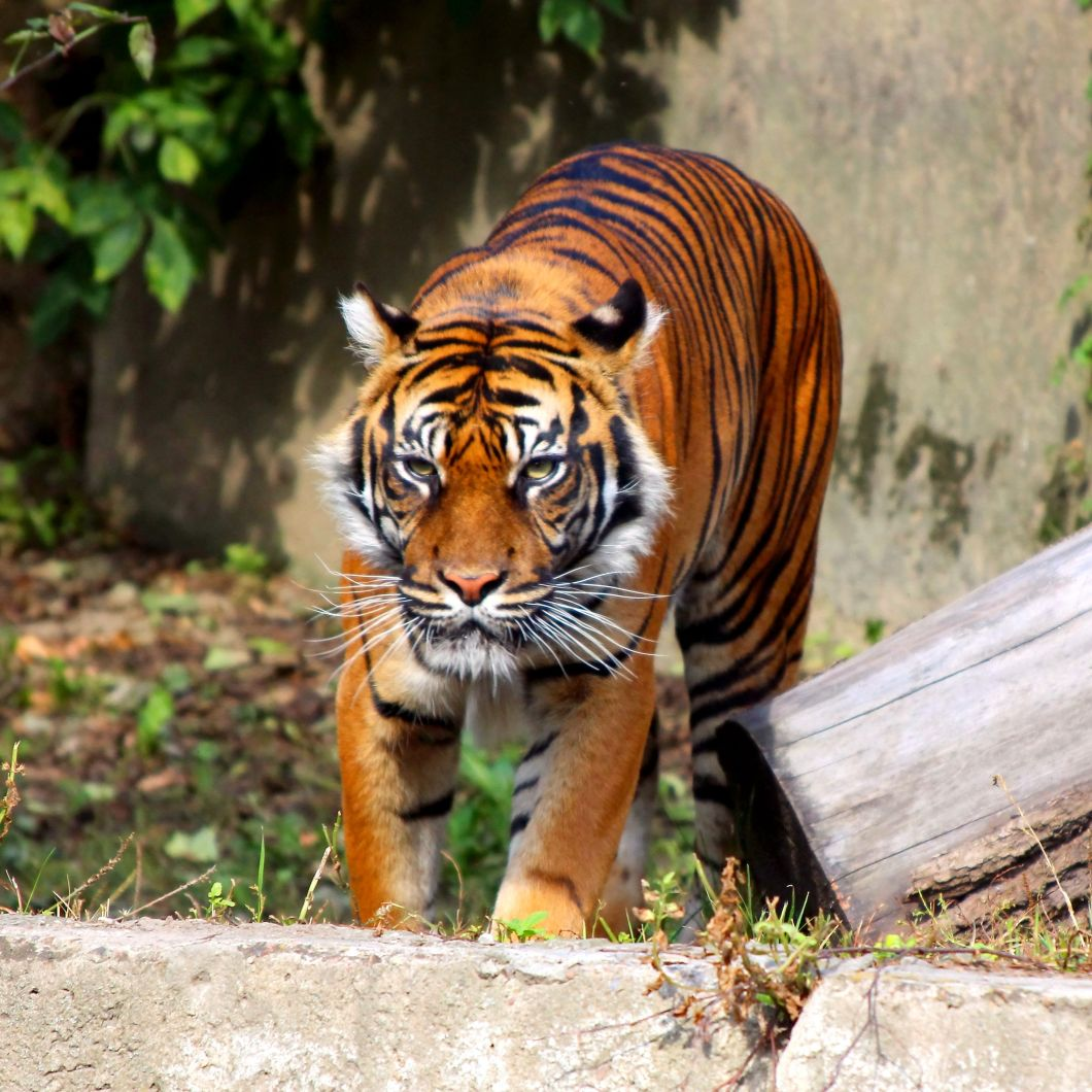 freephotosforcommercialuse.com- COOL ANIMALS-a picture of tiger-big cat