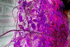 FreePhotosForCommercialUse.com-free-image-free-use-images-of-leaves-autumn-leaves-purple