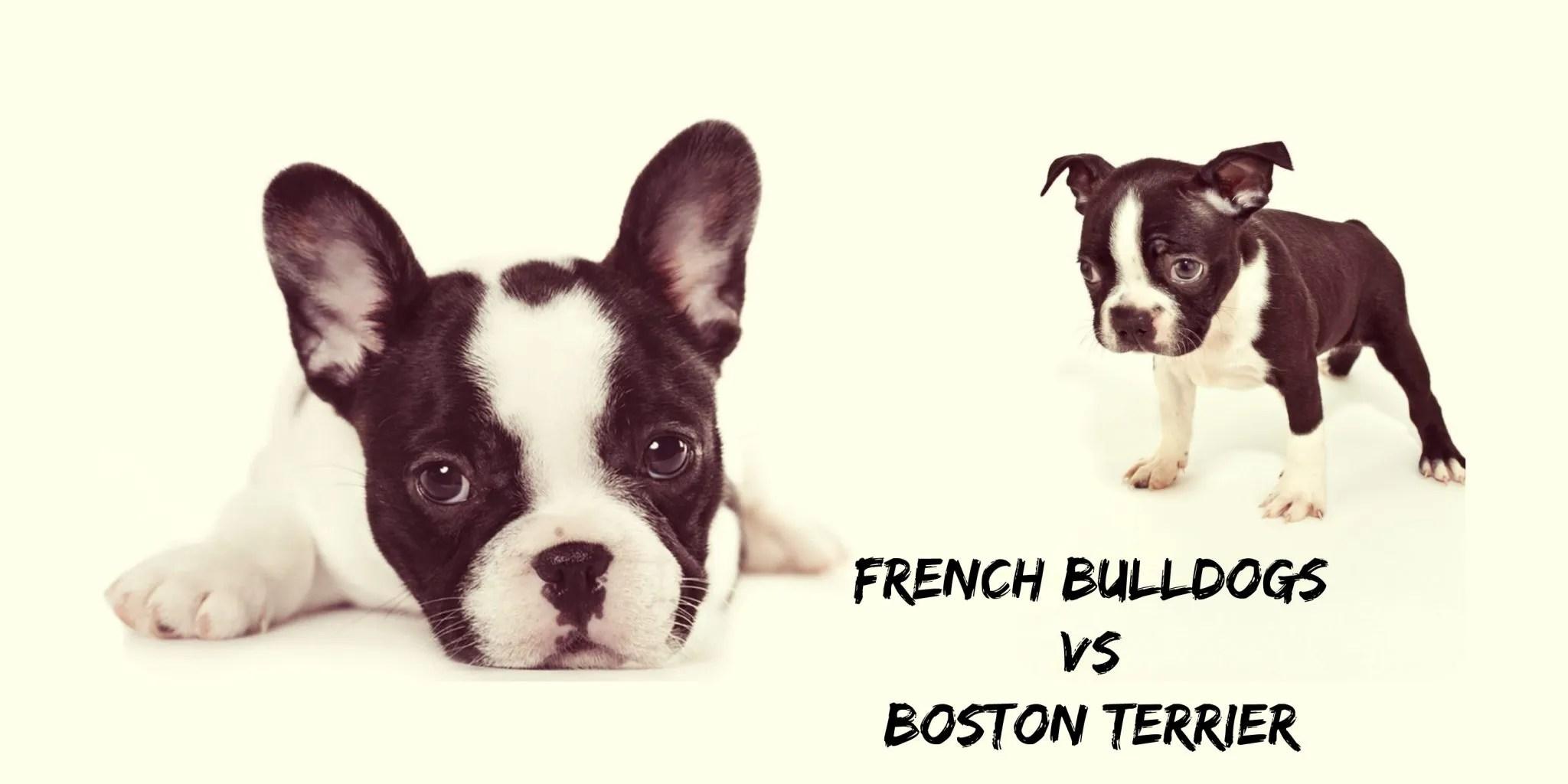 Breathtaking French Bulldog Vs Boston Terrier Why Do French Bulldogs Shed So Much Do French Bulldogs Shed Much bark post Do French Bulldogs Shed