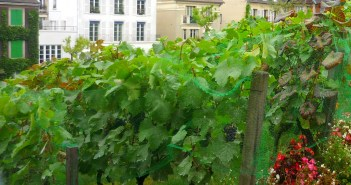 Vineyard of Montmartre © French Moments