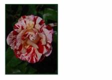 FC 009 Peppermint Rose