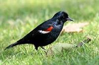TRI-COLORED BLACKBIRD