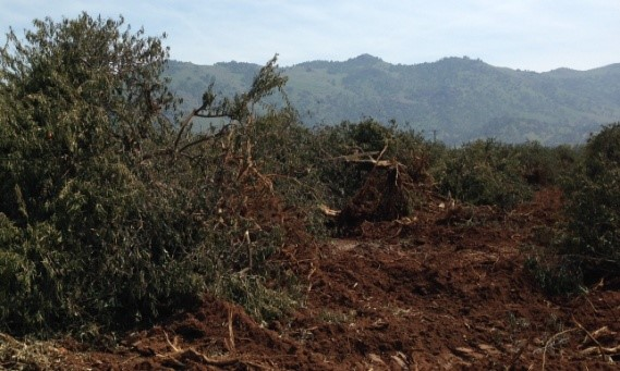 Pulled-out orange trees are early victims of Friant's zero  water allocation.