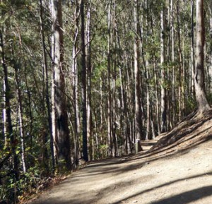 #3 Brooks trail - Eucalyptus Forest by Bevan C. Jones