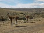 Guanacos minding their business along la Ruta 40