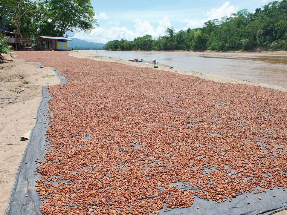 Cacao beans fermenting along the river.