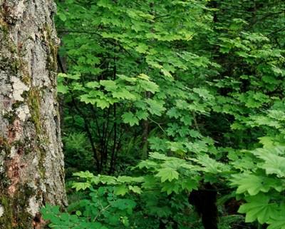 Vine Maple Trees - iStock