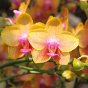 Orchid - iStock