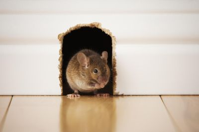 4 Destructive Things a Rat or Mouse Will Do in a House