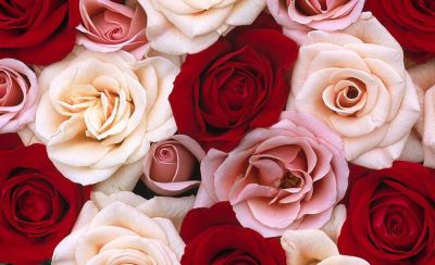 13 Free Online Rose Wallpapers