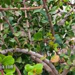 Peralillo de las Canarias Orientales (Gymnosporia Cryptopetala)