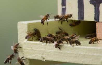 Bees move in and out of an active hive at Blackwater Honey Bee and Lavender Farm in Isle of Wight. David Mitchell witnessed a recent mass die off of some of his bees from what he believes insecticide from a nearby farm. (Adrin Snider)