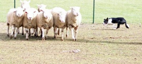 Even Herd