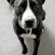 my-hero-pitbull
