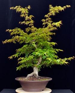 Small Of Japanese Maple Bonsai
