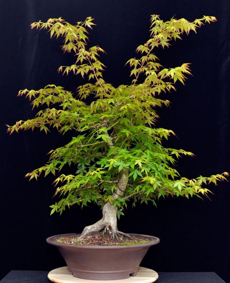 Large Of Japanese Maple Bonsai