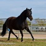 Summerwind_Marchador_horse_13
