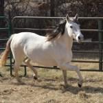 Atriz de Itajoana, new mare now in OK
