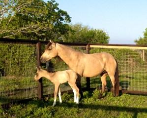 Destiny had a beautiful colt!!  Sire is Talisma Kafe!