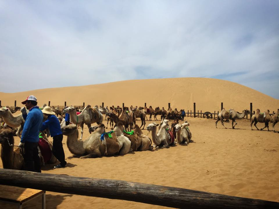 フフホト郊外の砂漠でラクダに乗る