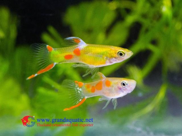 Endler  Fish /  fish for sale, View fancy  fish, Al