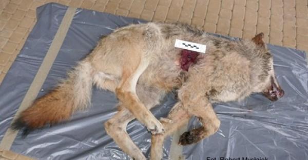 martwy wilk