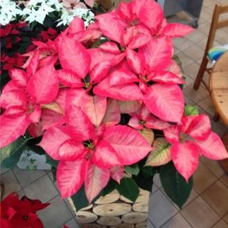 Weihnachtsstern_Weihnachtssterne_Advent_Erwitte_Gärtnerei_Enge2