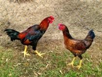 Kỹ thuật nuôi và phòng bệnh cho gà, vịt