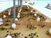 Úm gà con và chăm sóc đến 1 tháng tuổi