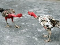 Giới thiệu giống gà nòi Bình Định